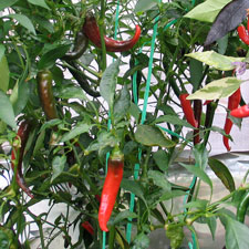 Ring of Fire Chilli Plant