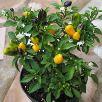 Karneval Yellow  Chilli Plant