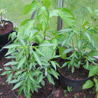 Lemon Drop & Zimbabwe Bird Chilli Plants