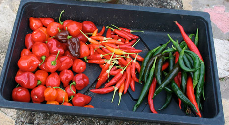 Last Chilli Harvest of year