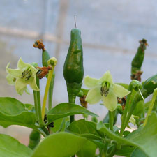 Papa New Guinea Birds Eye  Chilli Pod