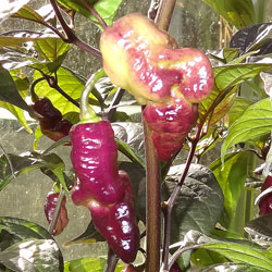 Pink Tiger Chilli Plant